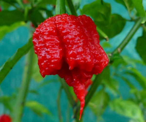 Carolina Reaper: World's Hottest Pepper